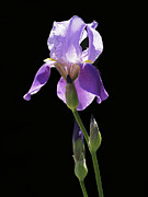 Purple Floral Photos - Sun-drenched Iris by Rona Black