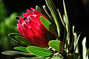 Fibers Framed Prints - Sun-filled Protea Framed Print by Kaye Menner