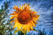 Summer Digital Art - Sun Flower by Adrian Evans