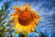 Sun Flower Print by Adrian Evans