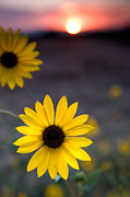 Flowers Photos - Sun Flower II by Peter Tellone