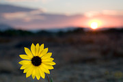 Flowers Photos - Sun Flower III by Peter Tellone