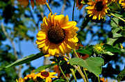 Warm Summer Photo Prints - Sun Flower Print by Todd Hostetter