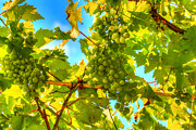 Grapevine Leaf Digital Art Posters - Sun kissed green grapes Poster by Eti Reid
