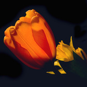Vibrant Color Art - Sun-kissed Tulip by Joann Vitali