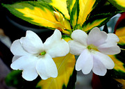 Impatiens Flowers Photos - Sun Patiens Spreading White Variagated by Kathy  White