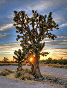 Sun Rays Through A Joshua Tree Print by Eddie Yerkish