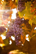 Vine Grapes Photo Posters - Sun ripened grapes Poster by Diane Diederich