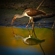 Faced Prints - Sun Rises On The Ibis Print by Robert Frederick