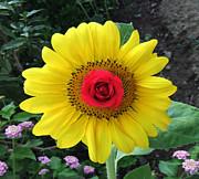 Eric Kempson - Sun Rose