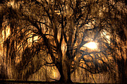Trees Glass - Sun Through The Willow by Emily Stauring