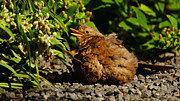 Nick  Biemans - Sunbathing female blackbird