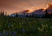 Mt Rainier Prints - Sunbeam Garden Print by Mike  Dawson