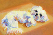 White Maltese Prints - Sunbeam Print by Kimberly Santini