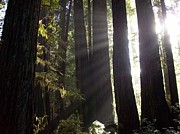 Sunbeams In The Redwood Forest Print by Mark Fire Horse Kennedy