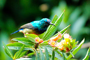 Sunbird And Tropical Flowers Gisakura Guest House Nyungwe Park Rwanda Africa Print by Robert Ford