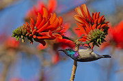 Exotic Bird Prints - Sunbird on Coral Print by Ashley Vincent