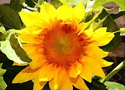 Judy Palkimas - Sunburst Sunflower