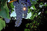 Cabernet Sauvignon Posters - Sunburst through Cabernet Sauvignon Cluster Poster by Craig Lovell