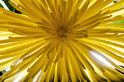 Limelight Framed Prints - Sunburst Framed Print by Todd Westfall