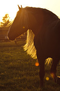 Forelock Photo Posters - Sundown D5242 Poster by Wes and Dotty Weber