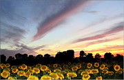 Yellow Glowing Stamen Framed Prints - Sundown On A Sunflower Field Framed Print by Danielle  Parent