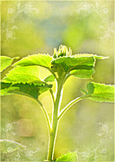 Photomanipulation Photo Prints - Sundrenched Sunflower - Digital Paint Print by Debbie Portwood