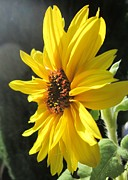 Sonnenblume Prints - Sunflower 1 Print by John Clark