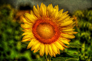 Yellow  Digital Art Posters - Sunflower Poster by Adrian Evans