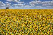 Wild Flowers Of Texas Photos - Sunflower Afternoon - Texas Wildflower Images - Happiness by Rob Greebon