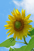 Blooms Framed Prints - Sunflower Against Blue Sky Framed Print by Lisa  Phillips
