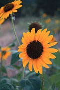 Sunflower Prints - Sunflower Print by Alicia Knust