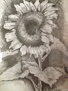 Meadows Drawings - Sunflower by Amy Wyatt