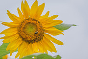 Amber Flowers - Sunflower and Bee