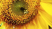 Brittany Perez Metal Prints - Sunflower and Bumble Metal Print by Brittany Perez