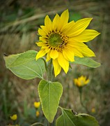 Neurotic Images Photography Prints - Sunflower and Company Print by Chalet Roome-Rigdon