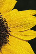 Lemon Art Posters - Sunflower and Raindrops Poster by The Forests Edge Photography - Diane Sandoval