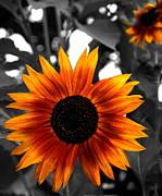 Andrea Kollo - Sunflower