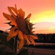 Sunflower At Sunset Print by Matt Taylor
