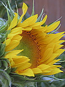 Kkphoto1 Framed Prints - Sunflower Awakening Framed Print by Kay Novy