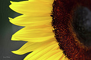 Sandi OReilly - Sunflower Beauty