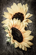 Wooden Metal Prints - Sunflower blossoms Metal Print by Elena Elisseeva