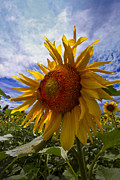 Garden Scene Metal Prints - Sunflower Blue Metal Print by Debra and Dave Vanderlaan