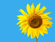 Vitamin Art - Sunflower Blue Sky by Edward Fielding
