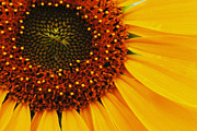 Flower Photographers Art - Sunflower by Bob Christopher