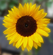 Baato   - Sunflower Bokeh