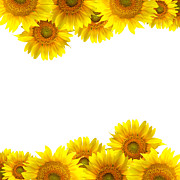 Flower Delivery Nyc Prints - Sunflower Print by Boon Mee