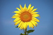 Provence Photos - Sunflower by Brian Jannsen