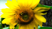 Brittany Perez Metal Prints - Sunflower Metal Print by Brittany Perez
