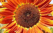Farmstand Photo Metal Prints - Sunflower Burst Metal Print by Kerri Mortenson